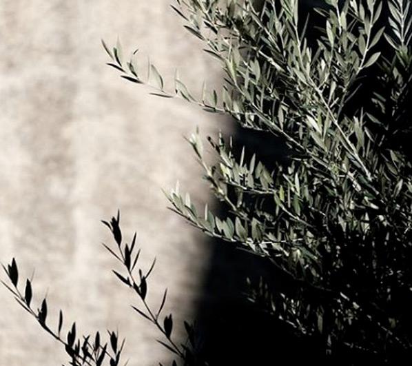 olivo-sombra-3